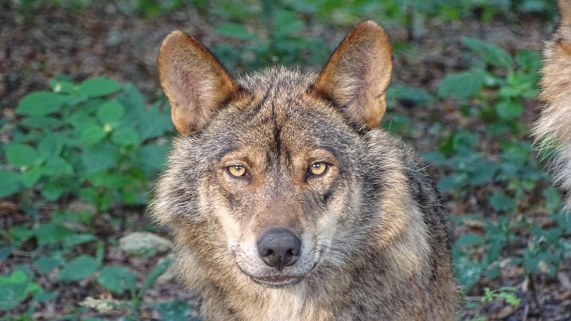Wölfe in Deutschland (Foto: pixabay)