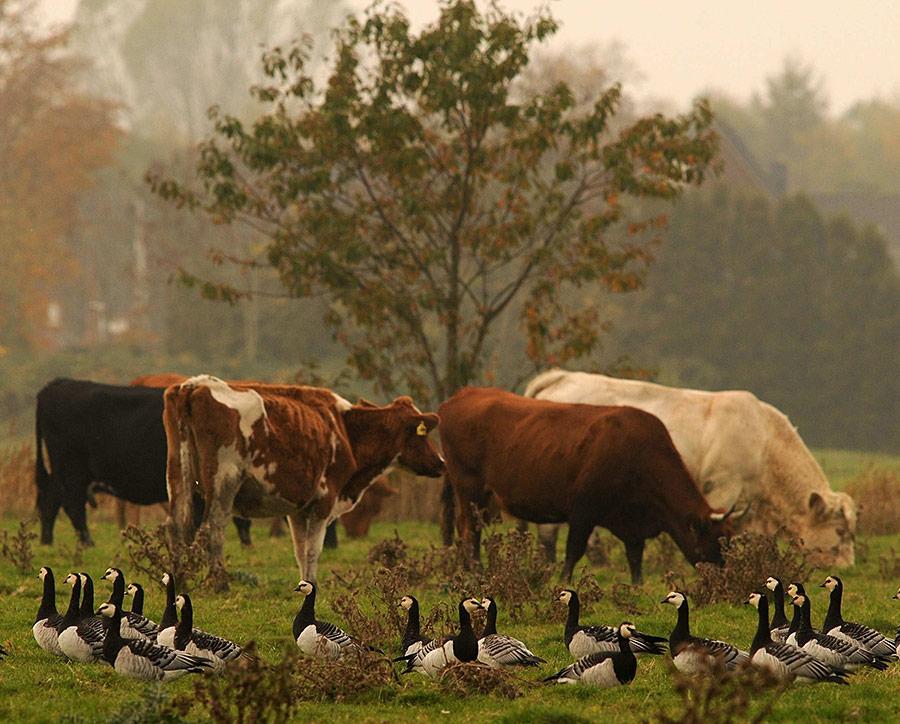 Rinder und Nonnengänse