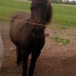 Eins der vier Ponys, deren Halter verstarb.