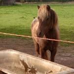 Das Fuchs-Pony sucht ein neues Zuhause.