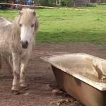 Das weiße Pony möchte mit der Araber-Mix-Stute zusammenbleiben.