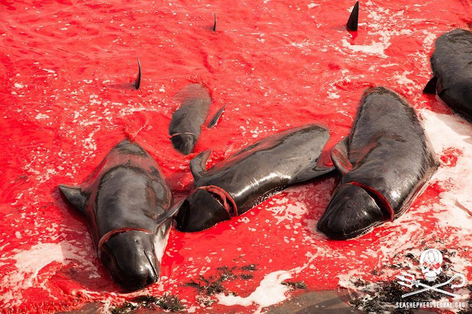 Grindadráp auf den Färöer Inseln. Foto: Sea Shepherd