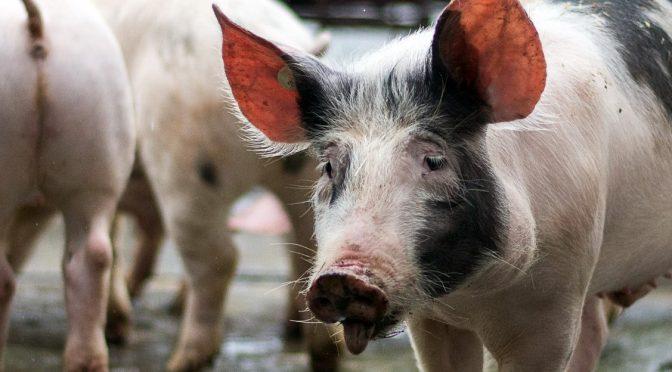 Wer hat ein Herz für Schweine und gibt ihnen ein Zuhause?