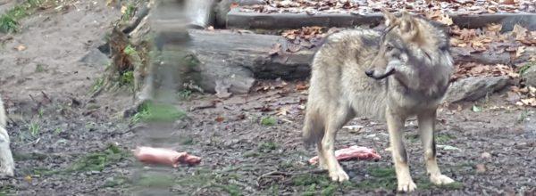Hilflosigkeit der Bundesregierung zum Umgang mit dem Wolf