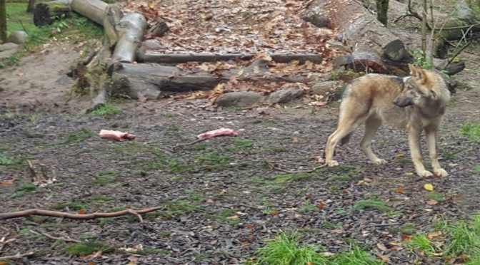 Wölfe in Niedersachsen = Landespolitik ist hilflos und überfordert