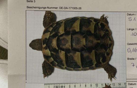 Griechische Landschildkröte in Neukamperfehn entlaufen!